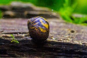 2 x Batik Nerite snails, Fresh Water Snail