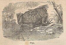A0368 Pipa - Stampa Antica del 1907 - Xilografia