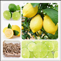 Lemon Bonsai 30 Pcs Seeds Fresh Juicing Edible Healthy Citrus Limon Fruit Tree Q