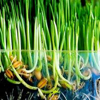 Geerntetes Katzengras 1oz / ca. 800 Samen 100% Grün mit wachsender Leitpflanze