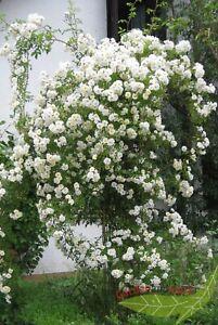 weiße Rambler Rose Lykkefund duftende Kletterrose reichblühend wurzelnackt