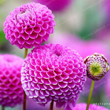 Pink Dahlia Flower Bulbs - Symbolizes Courage And Lucky - 2 Bulbs