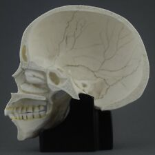 HUMAN HALF SKULL WITH STAND