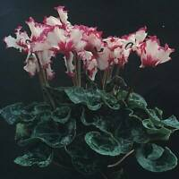 HARDY CYCLAMEN Cyclamen Hederifolium 120 graines RARE cultivars feuille Formes 2018