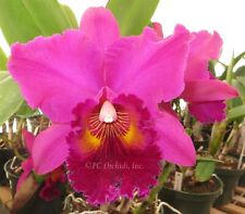 New listing Cattleya Pisgah Raspberry 'Orchidheights' - Large Blooming Size Plant!