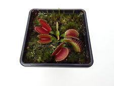 Venus Fly Trap G10 Cultivar House / Garden Plants Dionaea Muscipula