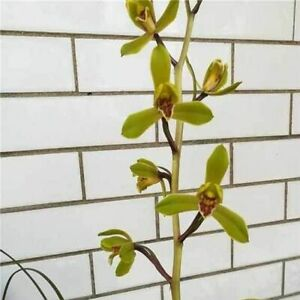 Cymbidium faberi 'Duan Hui Mei' Bare Root A333