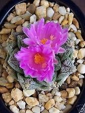 Ariocarpus fissuratus exotic living stone rock rare cactus cacti seed 50 SEEDS