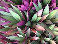 RHOEO~24 young plants ~ treat as a succulent & propagates easily without roots