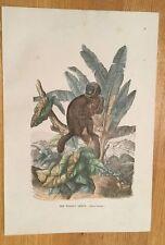 c1880 - The Woolly Lemur - Coloured Engraving.