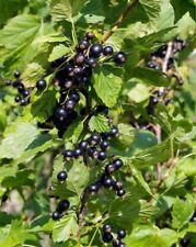 Black Currant Tree Cuttings - 3 Stems - Tasmanian Seller