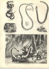 1854 incisioni BOA CONSTRICTOR attaccando dormire Lascar a Fasce Serpente Marino