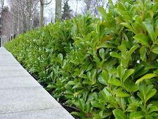 1 Cherry Laurel Fast Growing Evergreen Hedging Plants 25-30cm in Pot