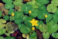 4 Pflanzen Seekanne Mini-Teichrose tolle Wasserpflanze Teichpflanze