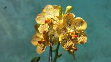 Orchid Vanda Sanchai Gold Spot Mad Happenings Special Exotic Tropical Plant