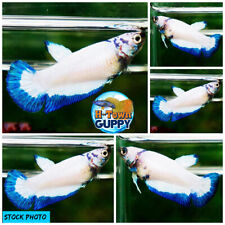 Live Betta Fish High Quality HMPK Female Blue Rim Dragon - Ready to breed
