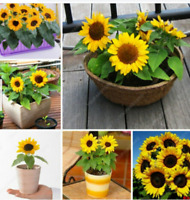 Mini Sunflower Bonsai Seeds Plants Flower Color For Indoor Rare Home 20 seeds