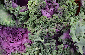Kale Seeds : Curly Scarlet : 500 Seeds : Winter Vegetable, Plant Now !
