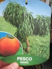 Zwerg-Pfirsichbaum - winterharte Pflanze 50-70cm - leckere Pfirsiche