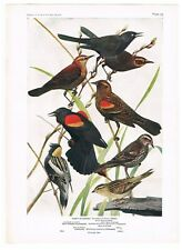 Antique Color Plate Stunning Lithograph  BLACKBIRD (Rusty & Red-Winged) BOBOLINK