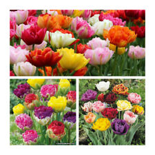 Mixed Double Late Tulip x 30 Bulbs.Double blooms of ruffled petals