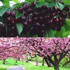 FD1002 Cherry Seeds Mazzard Cherry Prunus Avium Flower Tree Seed Black ~10PCs A