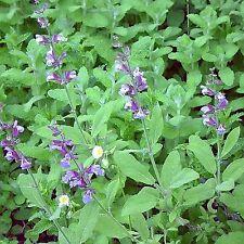 SAGE 125 SEEDS Salvia Officinalis Evergreen Blue Flowers Herbal Deer Resistant
