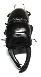 U001 Mi : DV : Lucanidae: Dorcus ritsemae setsuroi 76mm GIANT!!!***************