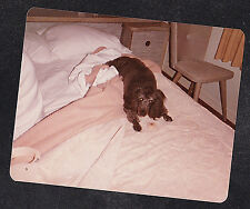Vintage Photograph Adorable Poodle Puppy Dog Laying on Bed With Cookie