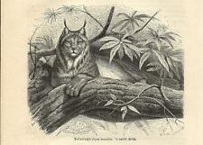 Stampa antica LINCE CANADESE Lynx canadensis 1891 Old antique print