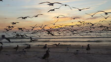 2017 19X33 PHOTO ON ALUMINIUM BIRDS AT SUNSET MARCO ISLAND TIGERTAIL BEACH MARCO