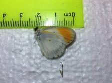 Nymphilidae  A+ Colotis evagore from Tanzania HOT ORANGE Papilio