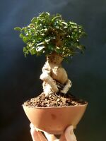 Giant Bonsai Pistacia lentiscus - Approximately 30 years old plant- Mastic Tree