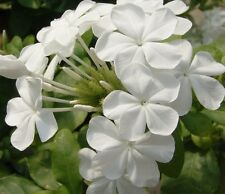 SNOW CAPE Plumbago auriculata large white phlox-like flowers plant in 180mm pot