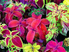 COLEUS 'Rainbow Improved Mix' 100 seeds FOLIAGE PLANT shade loving flower garden