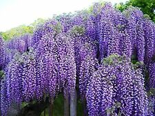 Beautiful Blue Moon Wisteria Vine Potted Plant 1-2' Tall