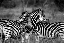 AFRICAN ZEBRA  WALL ART *  QUALITY CANVAS PRINT