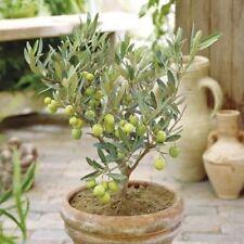 Olive Tree Bonsai Seeds 10 PCs. Bonsai Dwarf Tree