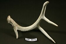 Whitetail Deer Antler Shed Unique Sturdy Outdoor Rustic Craft Supplies Aw0673