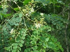 Albizia procera TALL ALBIZIA TREE Seeds!
