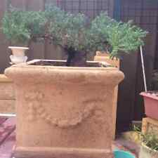 BONSAI TREE PLANT JUNIPERUS PROCUMBENS 6 YEARS OLD
