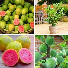 200Pcs Guava Fruit Seeds Rare 2 Color Tasty Sweet Natural Garden Balcony