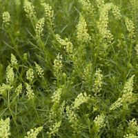 Mignonette Sweet Scented  - Reseda odorata - 1600 seeds