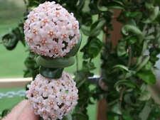 HOYA COMPACTA /KRINKLE CURL/TWISTED HINDU ROPE BLOOMING SIZE PLANT IN HANGING