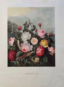 Vintage Botanical SPECIMEN Print Thornton's Temple Of Flora 1951 Book Promo Pack