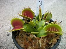 Medium Sized B52 Giant Venus Flytraps (Fly Trap Carnivorous Plants) Dionaea