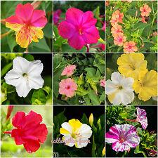 20 Pcs Mixed Four O' Clock(Mirabilis jalapa) Flower Seeds, Good Germination Rate