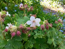 Storchschnabel Geranium hellrosa Ableger