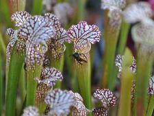 Sarracenia Leucophylla 'Tarnok' Carnivorous Pitcher Plant - COMBINE SHIPPING!!