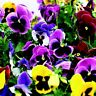 Pansy Seeds Character All Colors Mix 50 FLOWER SEEDS
